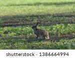 Stock photo wild brown hare runs along a farm meadow in the spring 1386664994