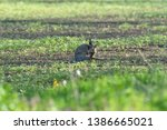 Stock photo brown hare eats spring grass on the meadow 1386665021