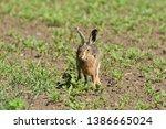 Stock photo wild brown hare runs along a farm meadow in the spring 1386665024