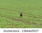 Stock photo wild brown hare runs along a farm meadow in the spring 1386665027