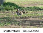 Stock photo brown hare eats spring grass on the meadow 1386665051