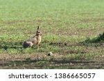Stock photo wild brown hare runs along a farm meadow in the spring 1386665057