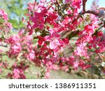 blooming apple tree with pink... | Shutterstock . vector #1386911351