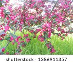 apple tree blooming with pink... | Shutterstock . vector #1386911357