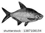 bream is a european species of...   Shutterstock .eps vector #1387108154