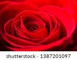 Stock photo big red rose close up studio image 1387201097