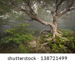 Creepy Fairytale Tree Spooky Forest Fog Appalachian NC Fantasy Landscape at Craggy Gardens in the Blue Ridge Mountains near Asheville North Carolina - stock photo