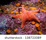 Small photo of Batstar (Asterina miniata) and orange cup corals shot while scuba diving on Santa Cruz Island, part of the Channel Islands off the coast of Southern California
