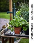 pot of fresh basil on a garden... | Shutterstock . vector #1387283381