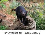 Tasmanian Devil  Little...