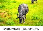 Cattle farm grazing scene view. ...
