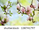 Flowering Magnolia Tree Densely ...
