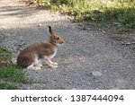 Stock photo hare sitting on a rural road 1387444094