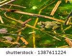 marsh frog  pelophylax...   Shutterstock . vector #1387611224