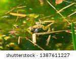 marsh frog  pelophylax...   Shutterstock . vector #1387611227