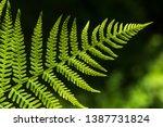 Fern Leaf Tip Close Up