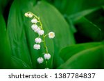 Lily Of The Valley At Spring...