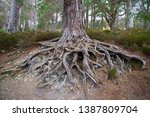 Exposed Pine Tree Roots In The...