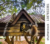 lemur in wild at tropical park. | Shutterstock . vector #1387832381