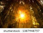 Sun flares shine thru pine tress forest park as background