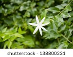 Small photo of Maliwan (Thailand English title) (Jasminum adenophyllum Wall.)