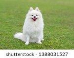 Cute White Pomeranian Dog At...