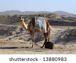 Camel against desert landscape - stock photo