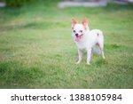 petite chihuahua white dog... | Shutterstock . vector #1388105984