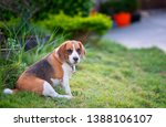 beagle puppy sitting on green... | Shutterstock . vector #1388106107
