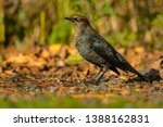 Small photo of A female Rusty Blackbird is standing on a gravel path. Also known as a Rusty Grackle. Lynde Shores Conservation Area, Whitby, Ontario, Canada.