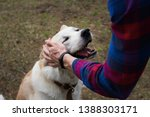 Stock photo a happy beautiful smiling japanese akita inu dog is being petted by a man in a plaid shirt in the 1388303171