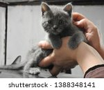 Stock photo gorgeous ash gray kitten at the age of month born a street cat in a garage box during the photo 1388348141