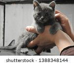 Stock photo gorgeous ash gray kitten at the age of month born a street cat in a garage box during the photo 1388348144