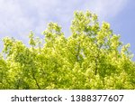 Small photo of Fresh green leaves on the branches from put forth fresh leaves (Bud or Sprout) of banyan tree from bottom view in blue sky background