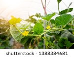 Small photo of Melon leaf, melon plant growing in organic garden, growing melon seedlings on the farm. fresh melons or green melons or cantaloupe melons plants growing in greenhouse supported by string melon nets.