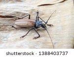giant fijian longhorn beetle... | Shutterstock . vector #1388403737