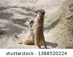 two meerkats enjoying the sun ... | Shutterstock . vector #1388520224