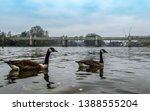 A Canada Goose Swimming On The...
