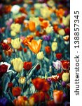 Orange Tulip Stands Out From...