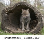 Young Gray Wolf  Or Timberwolf...