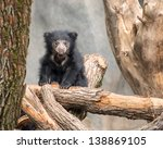 Sloth Bear Cub  Melursus...