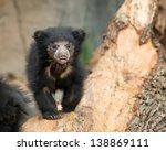 Sloth Bear Cub  Melursus...