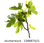 Fresh Green Common Fig. Ficus...