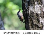 nuthatch extracts food sitting... | Shutterstock . vector #1388881517