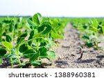 Young Plant Of Green  Vegetable ...