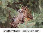 Small photo of Adult and juvenile long-eared owl, asio otus, sitting on a nest in coniferous tree close together. Animal family with protective mother and cute hatchling. wildlife scenery of bird breeding in nature