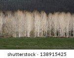 Poplars Illuminated With A...