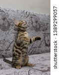 Stock photo bengal kitten playing in the background 1389299057