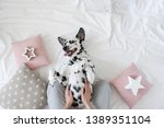 Stock photo dalmatian dog lying on her back with paws up wishing for a tummy rub dog in bed resting and 1389351104