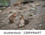 prairie dogs    herbivorous... | Shutterstock . vector #1389496697